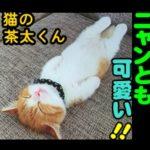 日本の飼い猫!気を付けの姿勢で寝る猫が可愛すぎると中国で大人気